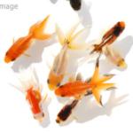 【8000匹】30年続いた金魚放流イベント、ネットで大炎上し中止に追い込まれる!