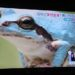 【とくダネ!】10000分の1の確率で生まれる青いカエルが埼玉で発見!5万円の価値があるぞ!!