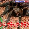 【有吉弘行のダレトク!?】キモうまグルメ!inタイ!タイランド・ブラック・タランチュラを喰う!