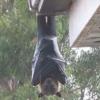 【恐怖】フィリピンオオコウモリがデカすぎると話題!